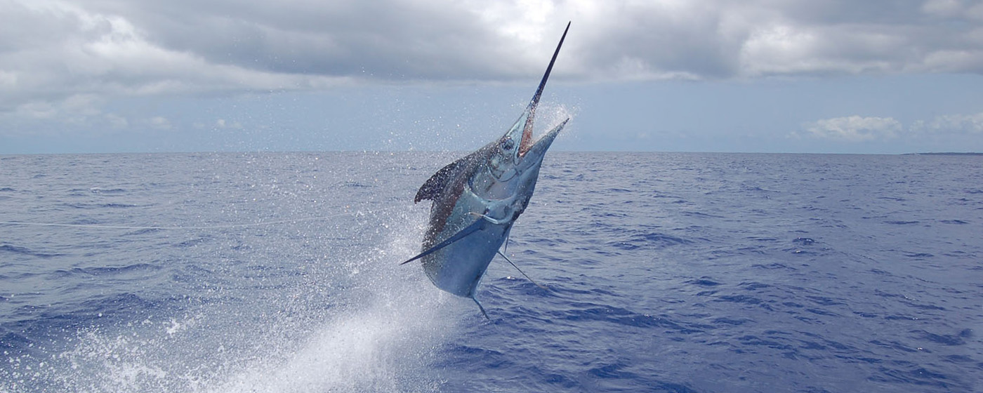 Marlin - Jumping [Atlantic Fishing Charter]