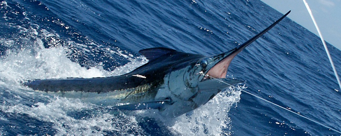 Marlin - Fish - Hook [Atlantic Fishing Charter]